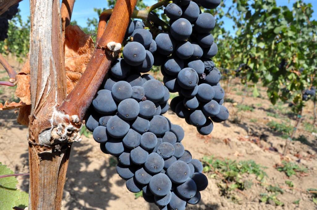 Pinot Noir hanging in Lichtenwalter Vineyard in the Ribbon Ridge AVA